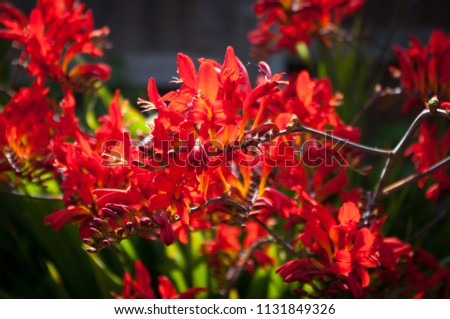 Close view of the bright red flowers of Crocosmia Lucifer backlit.