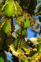 Close view of Transvaal candelabra tree, or bushveld candelabra euphorbia - Euphorbia cooperi