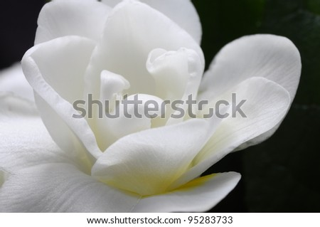 Close view of white flowers : white petals and yellow heart
