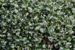 close view of white jasmine(Jasminum) flowers
