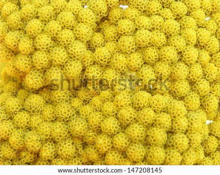 Close view on many small yellow bubble flowers./Small buble flowers