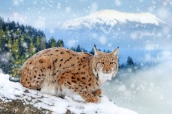 Close young lynxsitting on tree in winter mountain