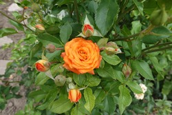 Closed buds and one opened flower of bright orange rose in August