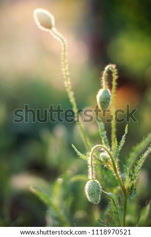 closed green buds of poppies on a green background