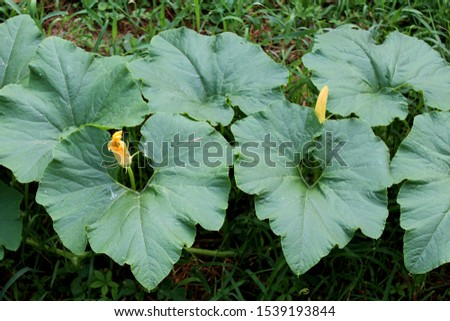 Closed pumpkin flower buds surrounded with large dark green thick leathery leaves planted in local urban garden on warm sunny summer day