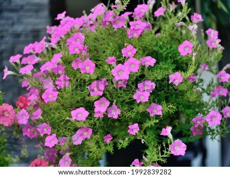 Closed up colorfull pink flowering Purslane