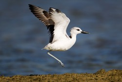 Closed up Crab plover (Dromas ardeola), angle view, side shot, taking off from the stack soils and fly across the sea to head of Coral Cape, Laem Pakarang, Khao Lak, the Southern of Thailand