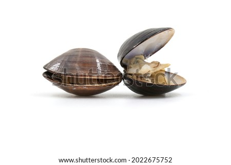Closed up fresh baby clams, venus shell, shellfish, carpet clams, short necked clams, as raw food from the sea are the seafood ingredients. fresh clams Background. seafood.