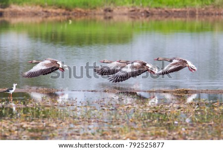 Closed up Greylag goose ( Anser anser )the waterfowl that very rare winter visitor in Thailand ,flying over the biggest swamp #792525877