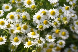 Closed up of Chamomile gardenfield a little yellowish white flowers commonly called German chamomile daisy.One of popular herb.