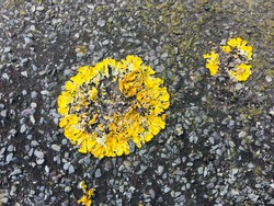 Closed up of common Orange Lichen also called sunburst  or sore lichen on roof