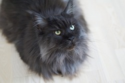 Closed up of domestic adorable black grey Maine Coon kitten, young peaceful cat in white floor