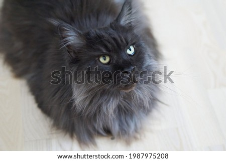 Closed up of domestic adorable black grey Maine Coon kitten, young peaceful cat in white floor Foto d'archivio ©