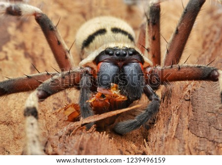 Closed up picture of huntsman spider eating prey