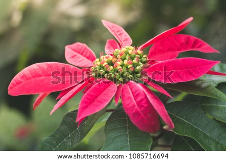 Closed up picture of Poinsettia or Christmas tree in dreamy morning sunshine toned.