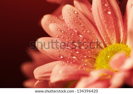 Closed up pink chrysanthemum