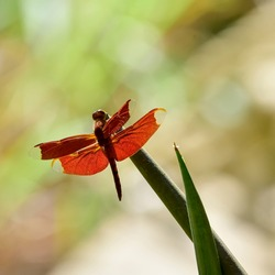 Closed up Red Dragonfly (Anisoptera), low angle view, dragonfly on a plant in a sunny day, shallow depth of field.