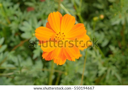 Closed up yellow cosmos flower with blur background ez canvas closed up yellow cosmos flower with blur background mightylinksfo