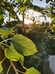 Closer natural view of green leaf on blurred vegetation background with shining sun in field garden with vegetation and plants in background. Precious green focused leaf. Sun reflection on the leave.