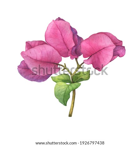 Closeup a pink Bougainvillea spectabilis flower branch. (the paperflower, primavera, buganvilia, veranera, roseiro, roseta). Watercolor hand drawn painting illustration isolated on white background. Foto stock ©