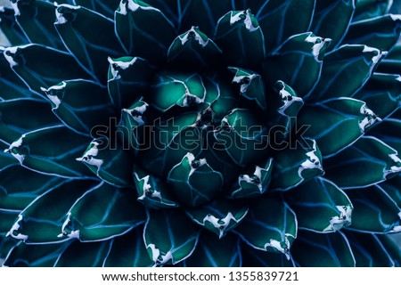 closeup agave cactus, abstract natural pattern background and textures, dark blue toned