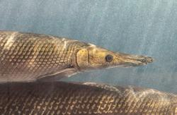 Closeup Alligator Gar Fish is Swimming in the Aquarium