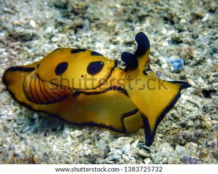 Closeup and macro shot of nudibranch Pleurobranch Sidegill Slug, Berthella martensi during leisure dive in during leisure dive in Tunku Abdul Rahman Park, Kota Kinabalu, Sabah. Malaysia, Borneo.