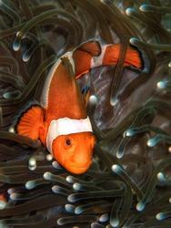Closeup and macro shot of the Western Clownfish or Anemonefish during a  leisure dive in Tunku Abdul Rahman Park, Kota Kinabalu, Sabah. Malaysia, Borneo.