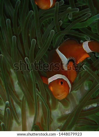 Closeup and macro shot of the Western Clownfish or Anemonefish during a leisure dive in Tunku Abdul Rahman Park, Kota Kinabalu, Sabah. Malaysia, Borneo.       #1448079923