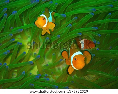 Closeup and macro shot of Western Clown fish or Anemonefish during leisure dive underwater in Sabah, Borneo.       #1373922329