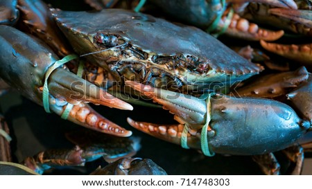 Closeup and Selective Focus of Giant Mud Crabs (Scylla serrata) also known as Black Crab, Mangrove Crab, Serrated Mud Crab, Captivity Tied Up offered for Sea Food.