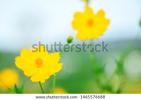Closeup and Selective Focus  Sulfur Cosmos or Yellow Cosmos for  Background.