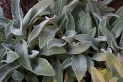 Closeup background of lamb's ear leaves, soft furry leaf texture, ornamental garden plant for landscaping, horizontal aspect