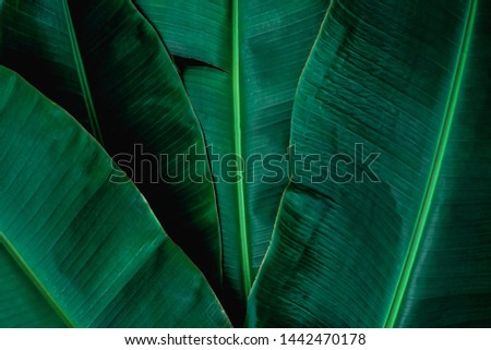 closeup banana leaf texture in garden, abstract green leaf, large palm foliage nature dark green background #1442470178
