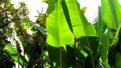 Closeup Banana Tree, Banana Leaf, Banana  Plant