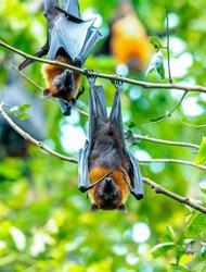 Closeup bats hanging upside down on a tree branch