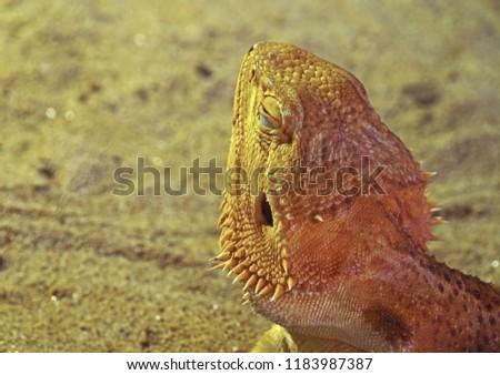Closeup Bearded Dragon Take a Sunbath Isolated on Nature Background #1183987387