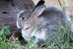 Closeup beautiful grey rabbit, low angle view, side shot, relaxing in afternoon light on the grasslsnd near the log timber in wildlife sanctuary on tropical moist montane forest, northern Thailand.