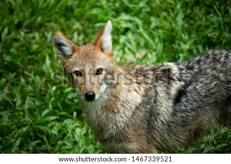 Closeup beautiful lonely wild Coyote looking at camera isolated on green nature grass background.