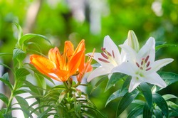 Closeup beautiful Orange and white lily  flower blooming in garden