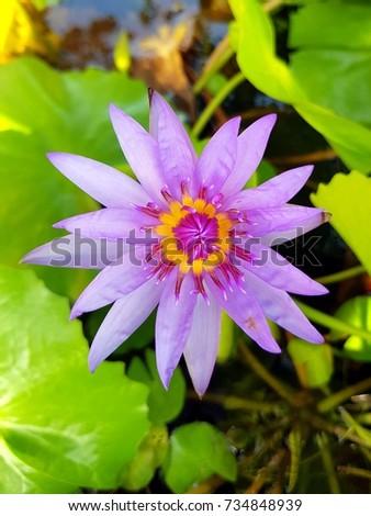 Closeup beautiful purple lotus flower with leaves ez canvas closeup beautiful purple lotus flower with leaves mightylinksfo