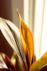 Closeup beautiful shape of golden growing leaves with blurred background, indoor freshness plant with natural morning sunlight beside window, depth of field. Tropical tree growth in plentiful nature.