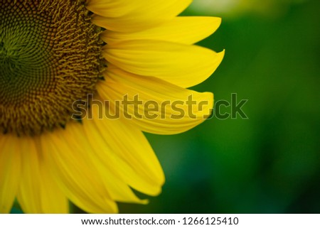closeup beautiful sunflower in the garden at the countryside #1266125410