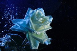 Closeup beautiful white and blue rose with water drops. white rose flower macro in bubbles on a black background. Drop, bubble, water, blue light.