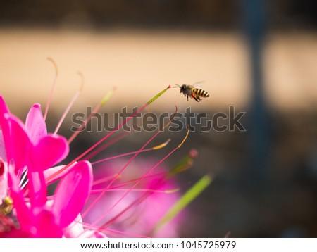 closeup bee flying near purple flower and sweet nectar