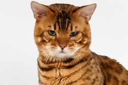 Closeup Bengal Cat with green eyes on White background