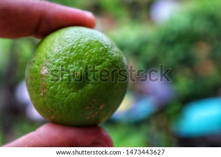 Closeup big green lemon on hand, sour tast which best for making lemon juice and sour tast drinks, or can be an ingredient of your delicious menu, lemon is one herb that good for your health, dietary.