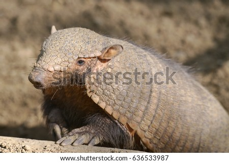 Closeup big hairy armadillo or large hairy armadillo (Chaetophractus villosus)