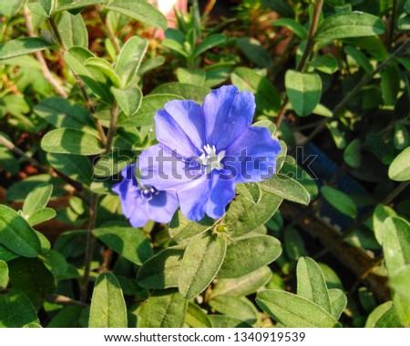 closeup Blue flower blooming  ( Evolvulus glomeratus 'Blue Daze', Brazilian Dwarf Morning-glory,) with spring day light   Photo stock ©