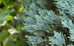 Closeup Blue Lawson Cypress or Chamaecyparis lawsoniana Isolated on Nature Background